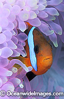 Black Anemonefish Amphiprion melanopus Photo - Gary Bell