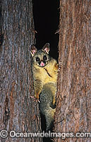 Common Brushtail Possum photo