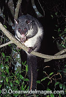 Mountain Brushtail Possum