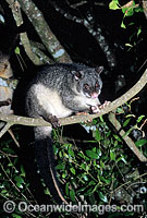Mountain Brushtail Possum Trichosurus caninus
