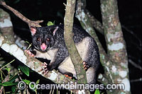 Mountain Brushtail Possum Trichosurus caninus photo