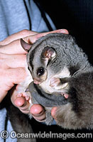 Squirrel Glider mother with baby Photo - Gary Bell