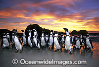 African Penguins Spheniscus demersus photo