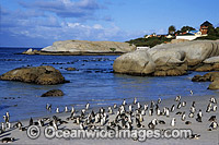 African Penguins returning to beach Photo - Gary Bell