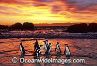 African Penguins image