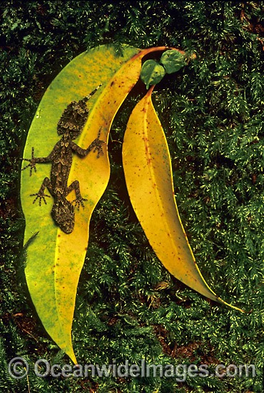 Leaf-tailed Gecko (Saltuarius swaini) on eucalypt gum leaves. Coffs Harbour, New South Wales, Australia Photo - Gary Bell