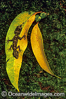 Leaf-tailed Gecko on eucalypt gum leaves photo