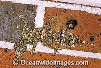 Leaf-tailed Gecko on brick wall