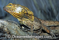 Frilled Lizard Photo - Gary Bell