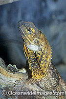 Frilled-neck Lizard Chlamydosaurus kingii Photo - Gary Bell