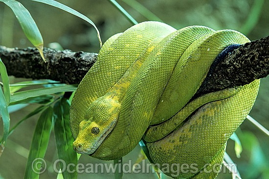 Green Python (Morelia viridis). Rainforests of North Queensland, Australia and Papua New Guinea. Non-venomous snake. Photo - Gary Bell