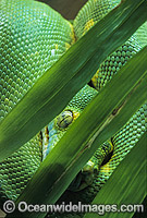 Green Python Morelia viridis Photo - Gary Bell