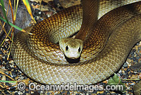 Coastal Taipan Photo - Gary Bell