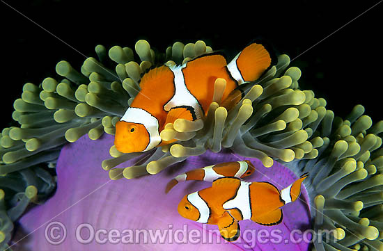 Eastern Clownfish (Amphiprion percula) amongst anemone tentacles. Also known as Eastern Anemonefish or Clown Anemonefish. Great Barrier Reef, Queensland, Australia