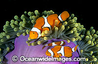 Eastern Anemonefish photo