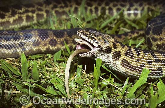Spotted Python (Antaresia maculosus) - feeding on a captured rat. Also known as Children's Python. Eastern Queensland, Australia. Non-venomous snake. Photo - Gary Bell