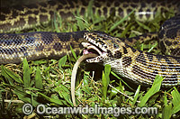 Spotted Python feeding on rat Photo - Gary Bell