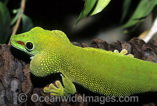 Madagascan Giant Day Gecko (Phelsuma madagascaiensis). Madagasca Photo - Gary Bell