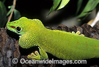 Madagascan Giant Day Gecko Photo - Gary Bell