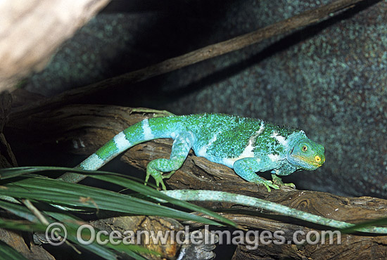 Fijian Crested Iguana (Brachylophus vitiensis). Fijian Islands. Critically endangered. Photo - Gary Bell