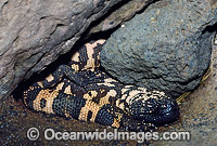 Reticulate Gila Monster Heloderma suspectum