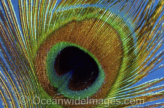 Indian Peafowl (Pavo cristatus) - feather detail. Also known as Blue Peafowl and Peacock. Native to South Asia, but introduced and semi-feral in many regions of the world, including Australia. Photo - Gary Bell