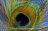Indian Peafowl (Pavo cristatus) - feather detail. Also known as Blue Peafowl and Peacock. Native to South Asia, but introduced and semi-feral in many regions of the world, including Australia. Photo: Gary Bell