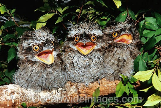 Tawny Frogmouth (Podargus strigoides) - hatchlings perched on a branch. Coffs Harbour, New South Wales, Australia Photo - Gary Bell
