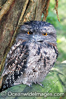 Tawny Frogmouth Podargus strigoides photo