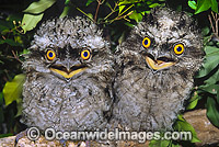Tawny Frogmouth hatchlings on branch Photo - Gary Bell