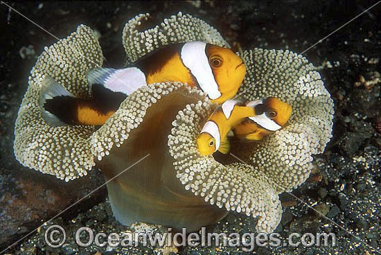 Panda Clownfish (Perca polymnus) - family amongst anemone tentacles. Also known as Saddleback Anemonefish. Milne Bay, Papua New Guinea