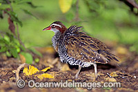 Buff-Banded Rail Gallirallus philippensis stock photo