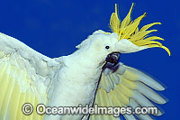 Sulphur-crested Cockatoo Photo - Gary Bell