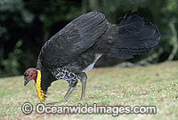 Australian Brush Turkey breeding male image