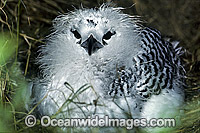 Red-tailed Tropicbird chick image