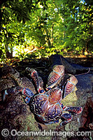 Coconut Crab image