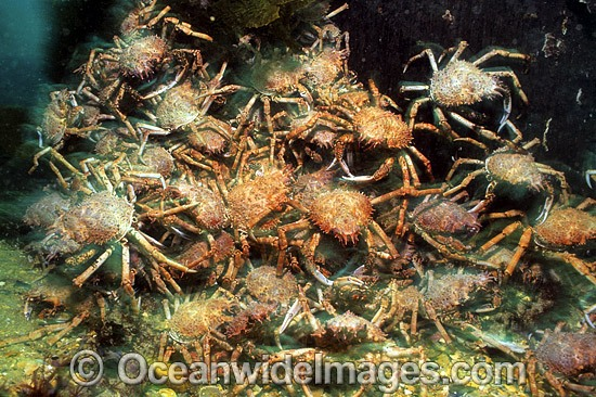 Giant Spider Crabs (Leptomithrax gaimardii) - mating aggregation. Port Phillip Bay, Victoria, Australia Photo - Gary Bell