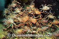 Spider Crabs mating aggregation Photo - Gary Bell