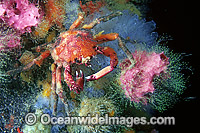 Spider Crab Schizophrys aspera Photo - Gary Bell