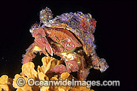 Fringed Sponge Crab with Ascidian hat Photo - Gary Bell