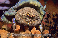 Sponge Crab with Sponge Hat Photo - Gary Bell