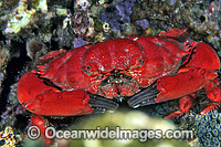Reef Crab Etisus splendidus Photo - Gary Bell