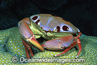 Reef Crab Carpilius maculatus Photo - Gary Bell