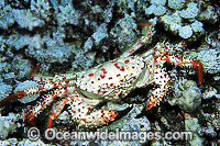 Deep Sea Reef Crab photo