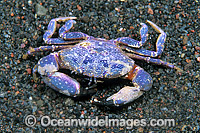 Reef Crab Photo - Gary Bell