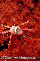 Spider Crab on Soft Coral image