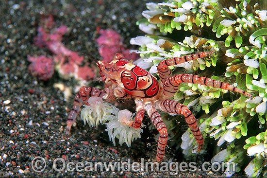 Boxer Crab (Lybia tessellata). Note: stinging Sea Anemones held in claws for use in defence. Bali, Indonesia Photo - Gary Bell
