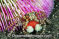 Boxer Crab with eggs image