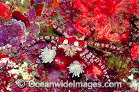 Boxer Crab stinging Sea Anemones Photo - Gary Bell