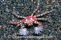 Boxer Crab Sea Anemones in claws image